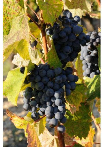 Chateau Chunder: A Wine Revolution - Films For Food